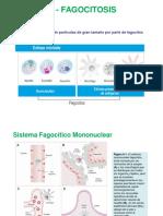 12 - Fagocitosis