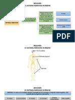 BIOLOGÍA. el sistema nervioso humano 8°