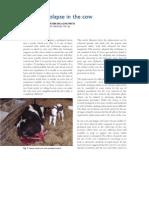 Cattle Uterine Prolapse