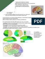 anatomia neuro
