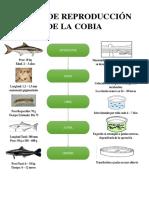 Ciclo de Reproducción de La Cobia
