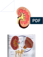 Renal Physiology (Old)