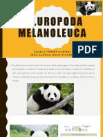 Ailuropoda melanoleuca