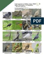 1100 Peru Birds of Campus de La Universidad Agraria La Molina 0