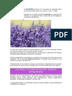 Las flores y el aceite de lavanda provienen de una planta con delicadas flores violeta.docx