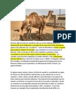 la leche de camella.docx