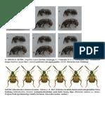 Callosobruchus (yg betina belum) dan Sitophilus.docx