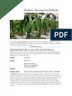 Cultivo de La Pitahaya