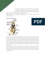 Anatomia apicola 2