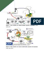 Ciclos biologicos.docx