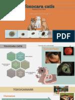 Toxocara catis-1