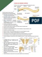 Miembro Superior, Anatomía de Huesos