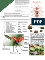 COLEOPTERA COCCINELLIDAE.pdf