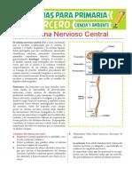 Funciones-del-Sistema-Nervioso-Central-para-Tercero-de-Primaria