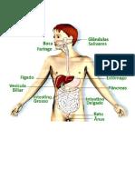 O aparelho digestivo.docx