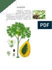 Đặc điểm sinh học của cây đu đủ