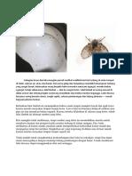 Lalat Kamar Mandi