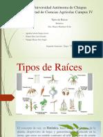 Tipos de Raíces - Botanica
