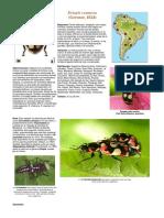 Eriopsis connexa