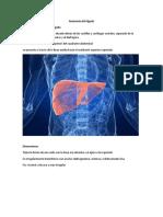 anatomia y fisiologia del higado.docx