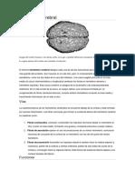 Hemisferio cerebral y lobulos