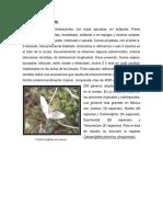 acanthaceae--boraginaceae.docx