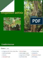 Anogiessus latifolia