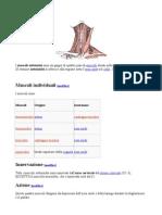 muscoliinspirazioneresprazione