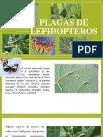 Plagas de lepidopteros