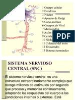 sistema-nervioso-2