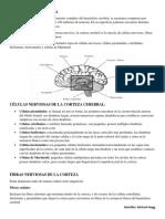 4. corteza cerebral