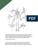 Diartrosis Articulaciones Semimoviles