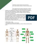El Sistema Óseo Es Una Complicada y Perfecta Estructura Que Está Formada Básicamente Por 206 Huesos