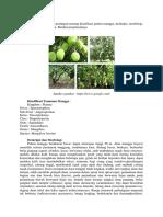 biologi deskripsi morfologi pohon mangga