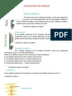 MUSCULOS DE LOS CANALES (Autoguardado)