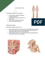 Vascularización del Sistema Nervioso Centra