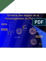 Schéma des étapes de la morphogénèse du Poliovirus