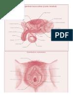 organos sexuales