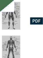 Músculos principales del cuerpo
