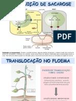 8.-Translocação-no-Floema-1