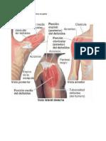 Músculos y huesos de la cintura escapular