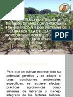 RESPUESTAS FENOTÍPICAS DE HIBRIDOS DE MAIZ CONVENCIONAL Y