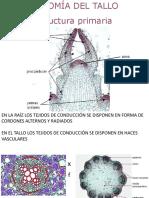 6. ANATOMIA PRIMARIA TALLO.pdf