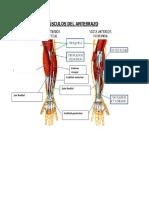 Musculos de antebrazo y muñeca.pdf