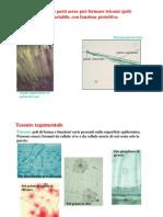 Tessuti tegumentali II