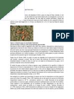 Pupa y Adulto Ciclo Biológico de Anastrepha Fraterculus