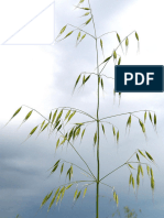 Effect of different treatments on dormancy breaking of wild oat (Avenafatua) | IJB-V6No6-p61-67