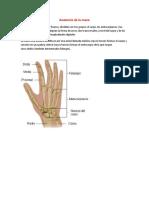 Anatomía de la mano humana