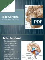 3 Tallo Cerebral