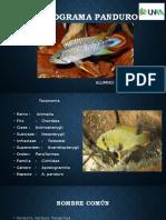 APISTOGRAMA PANDURO.pptx